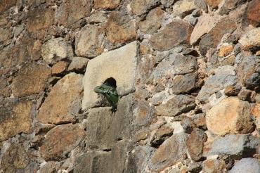 Iguana-kongen på fortet