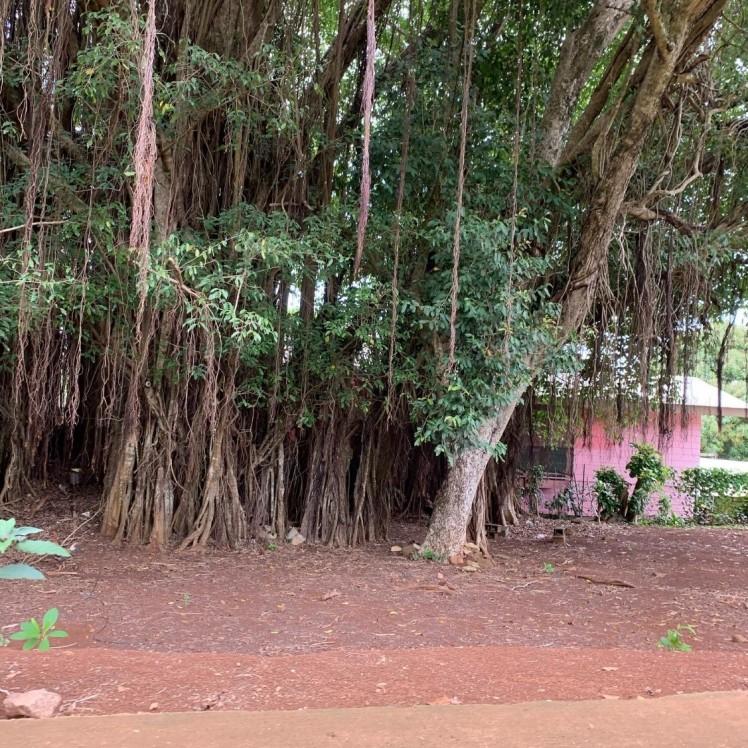 Banion tree, som var modell for filmen Avatar